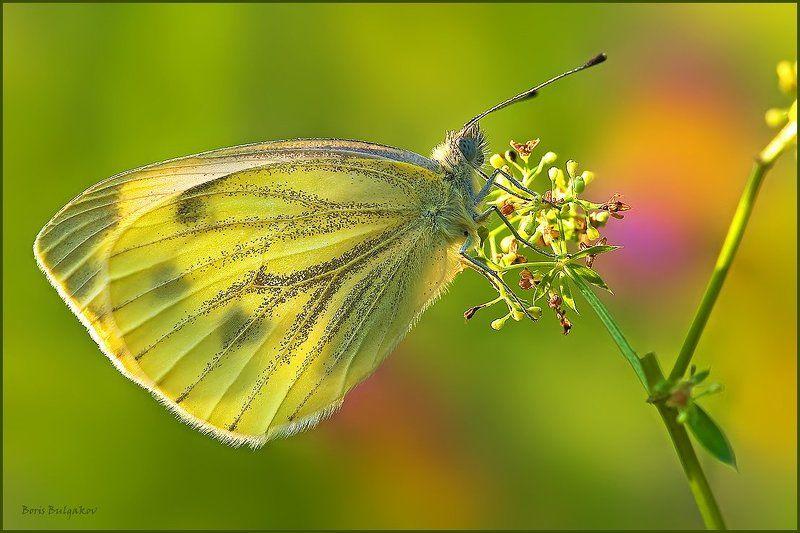 бабочка брюквенница Солнечным утромphoto preview