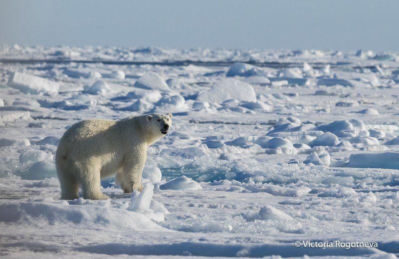 Арктика, Белый Медведь, Лед, Шпицберген Хозяин Арктикиphoto preview