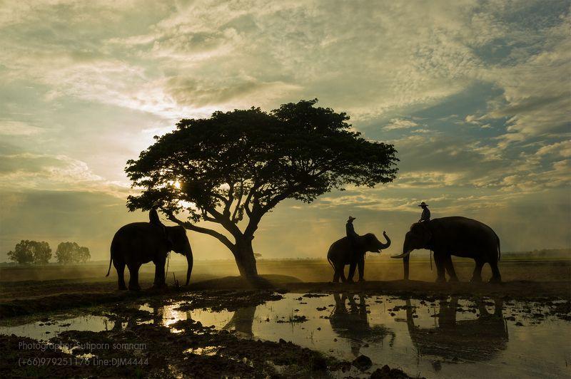 elephant,sunrise,animal,travel,man,m,ahout,asia,cambodia,thailand,sunset,culture,family Elephant sunrisephoto preview