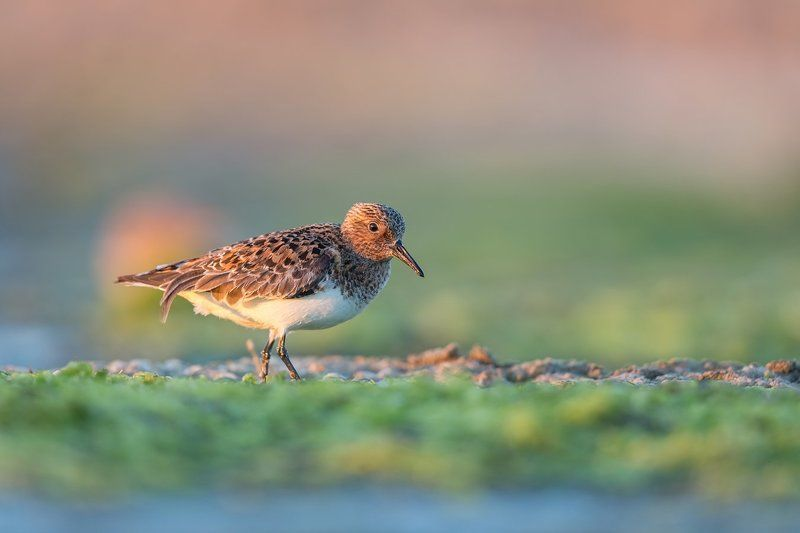 dunlin It\'s all about lightphoto preview