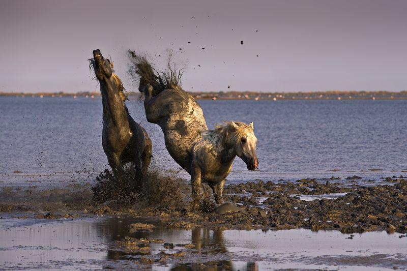 О лошадях Камарга нетрадиционно и в обратном порядкеphoto preview