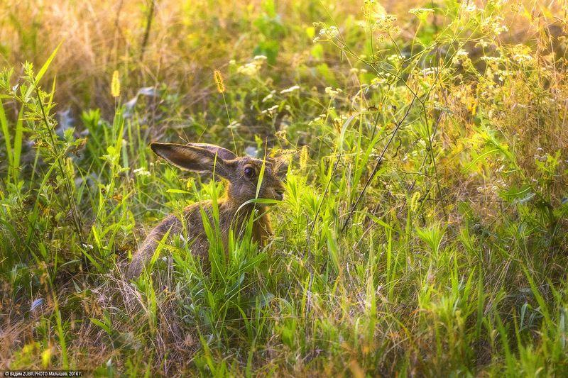 Zubr.photo, Животные, Закат, Заяц, Луга, Природа, Ростовская область Солнечный заяцphoto preview
