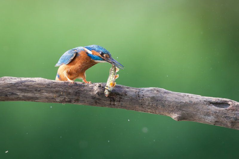 Kingfisher What a catch!!!photo preview