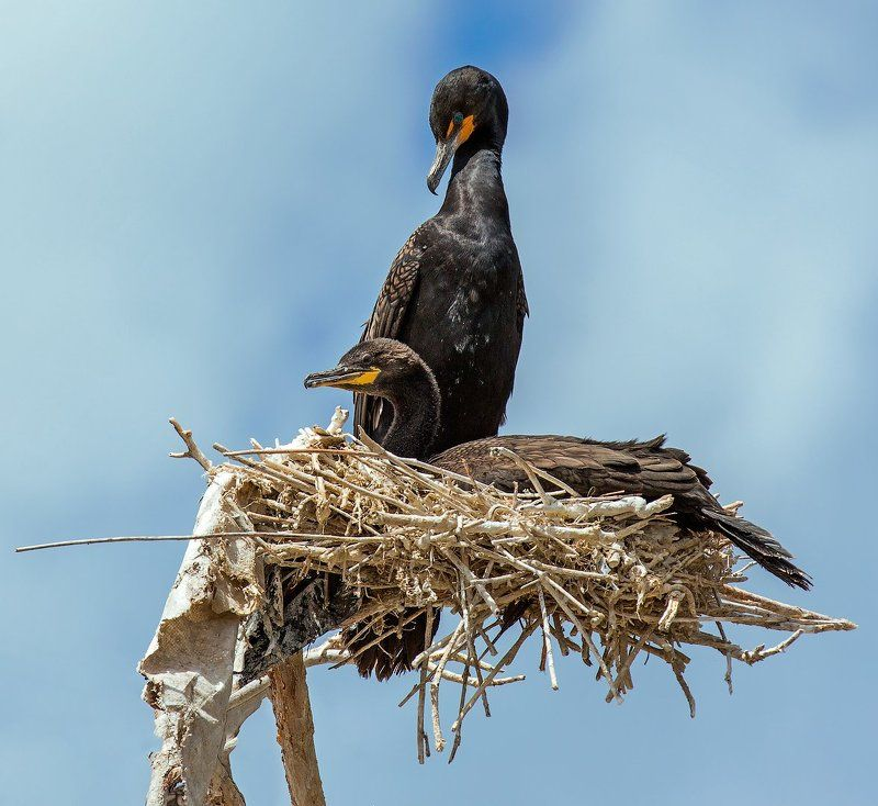 double-crested cormorant, nest, баклан,, гнездо,, семья, Waiting for offspringphoto preview