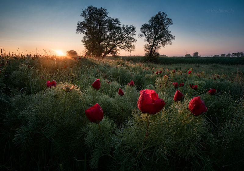 peony, пион, flower, sun, sunrise First sun raysphoto preview