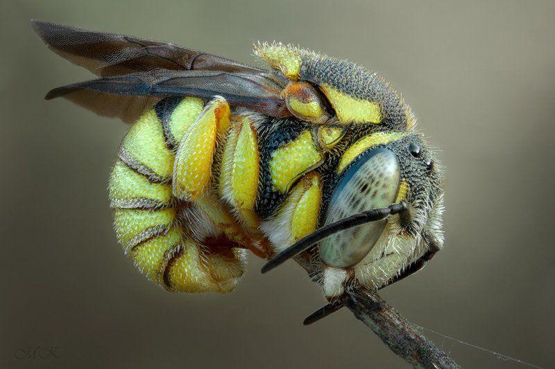 пчела, anthidiellum Крохаphoto preview