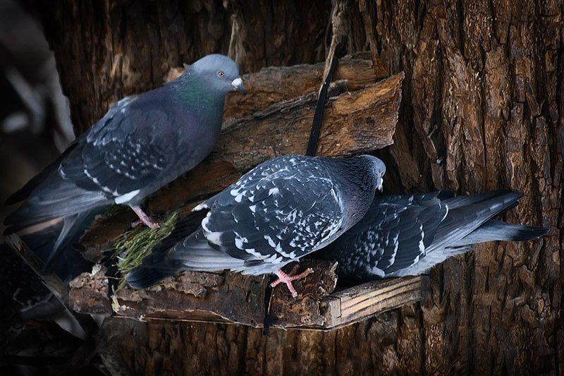 зима, голуби, кормушка Очередь за хлебом живая.. Кто последний с ближнего края?..photo preview