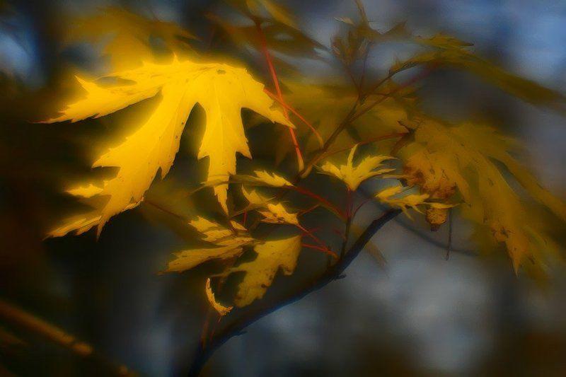 монокль, осень, клен, листья Солнце плавилось на небосклоне.. Лучам подставив свои ладони, Клён собирал золотые  блики.. Как дань светила лесному владыке..photo preview