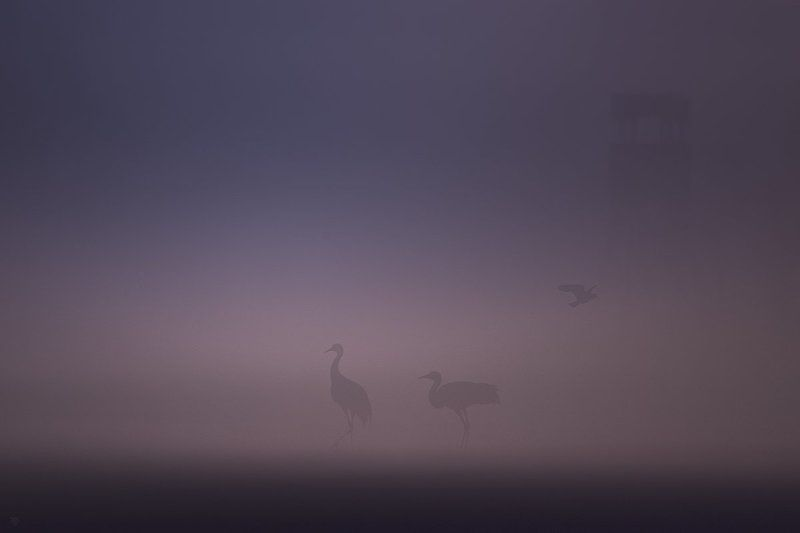 birds, fog, crane, lapwing Birds in the fogphoto preview