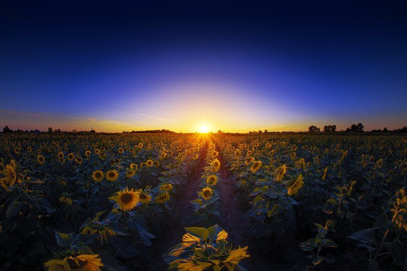 sunflowers, field, sunset Highway of sunflowersphoto preview