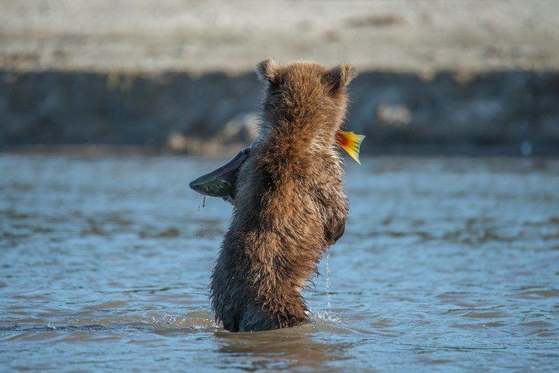 Дикая природа, Дикая природа россии, Камчатка, Курильское озеро, Медведь, Медвежонок, Охота, Фотоохота Юный рыбакphoto preview