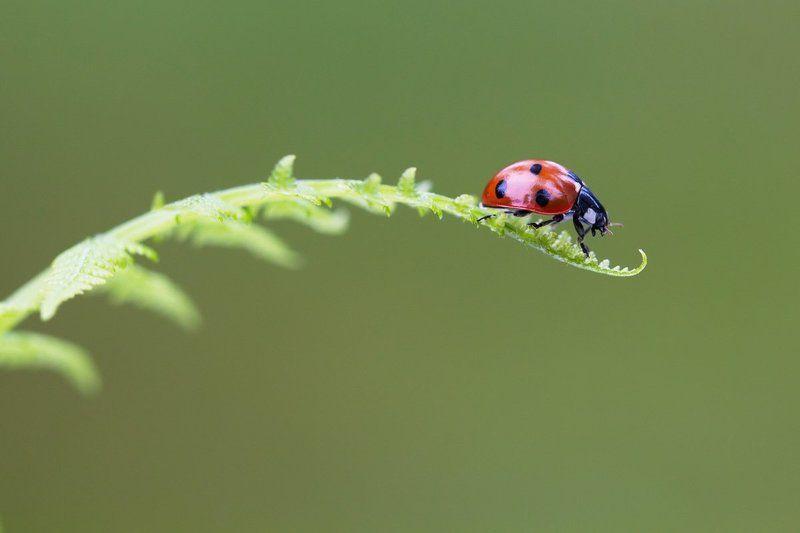 божья коровка, насекомое, жук, природа, макро Lady in redphoto preview