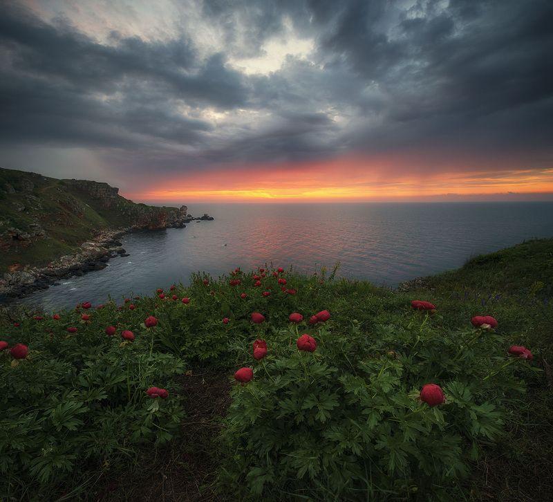 болгария Дикие пионы у берега Черного моряphoto preview