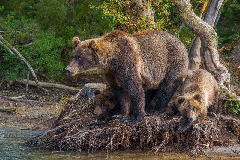 Дикая природа, Камчатка, Курильское озеро, Медведи, Медвежонок, Россия, Южно-камчатский заказник Медвежья семьяphoto preview