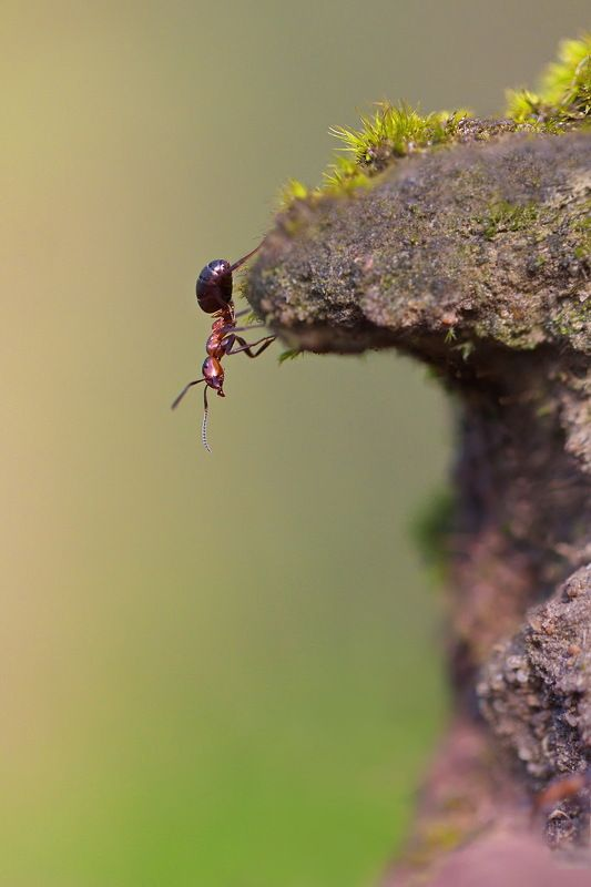 муравей, насекомое, природа, лес, макро Путешествие Муравьишкиphoto preview