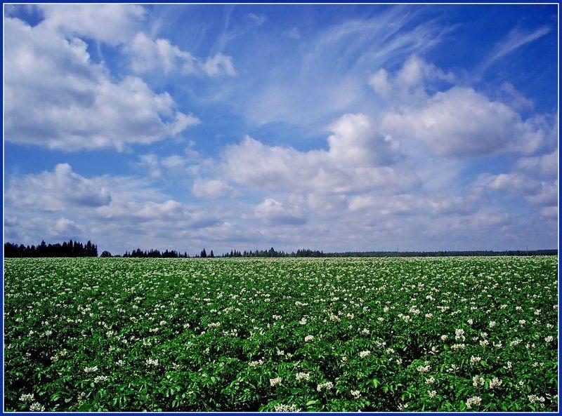 картофель,поле,небо,лето Цветущее полеphoto preview