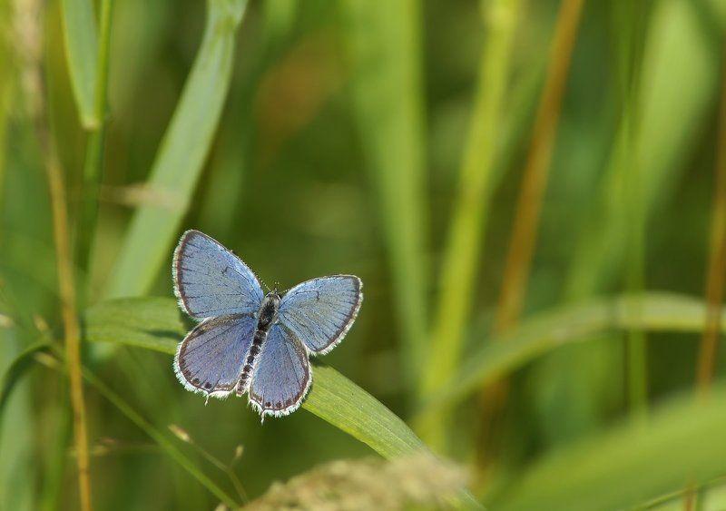 Голубянка короткохвостаяphoto preview
