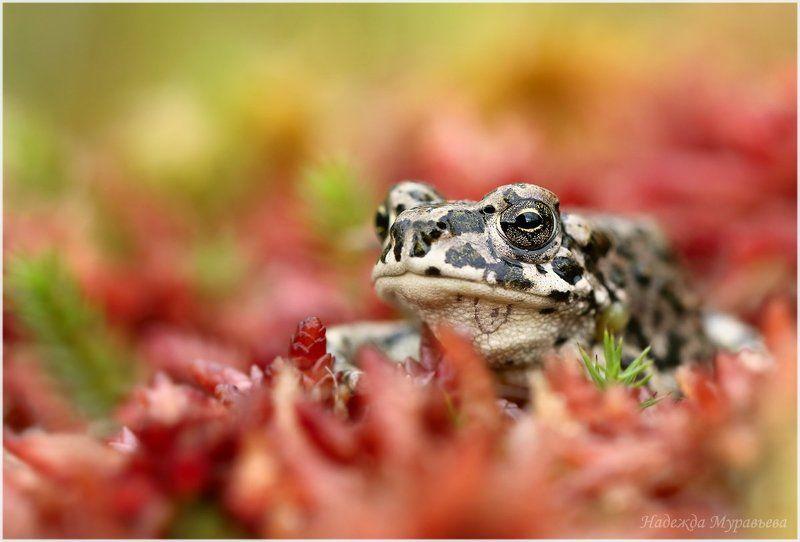 Bufotes viridis, Зелёная жаба Грустная в красномphoto preview
