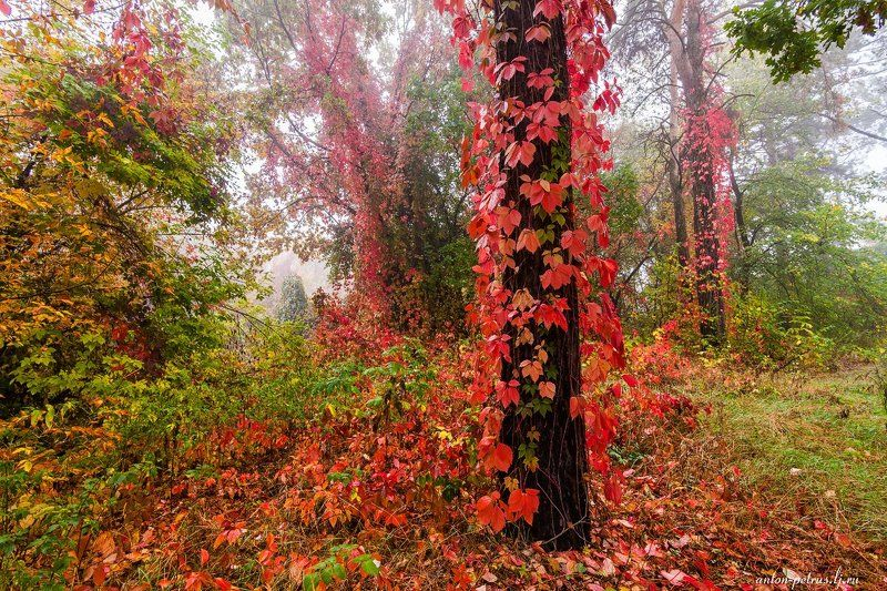 Лес, Осень, Туман Виноградная осеньphoto preview