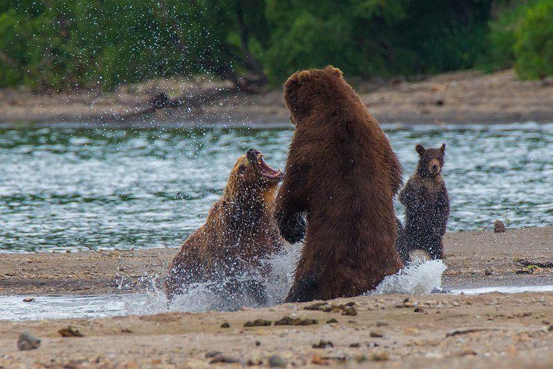 камчатка, медведь, природа, озеро,  На защите детстваphoto preview