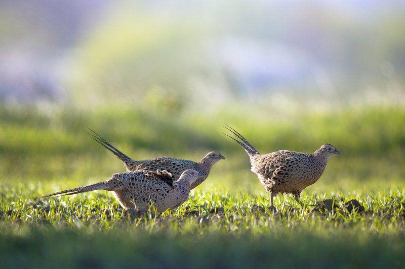 pheasant, wildlife, birds, Womenphoto preview
