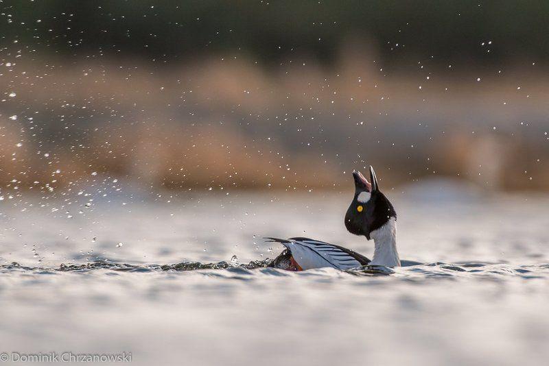 common goldeneye, bucephala clangula, goldeneye, aves, birds, dominik chrzanowski wildlife photography Common Goldeneyephoto preview