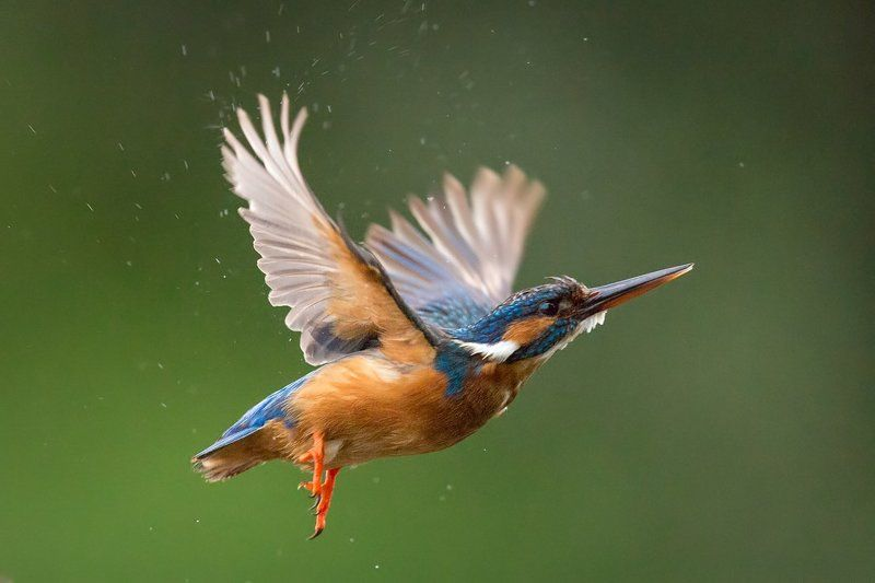 kingfisher Dropletsphoto preview