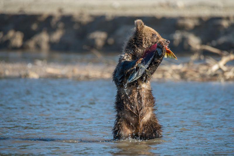 дикая природа, дикая природа россии, камчатка, курильское озеро, медведь, медвежата, медвежонок, южно-камчатский заказник Мишкино летоphoto preview