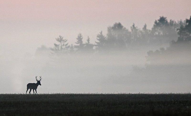 Благородный оленьphoto preview