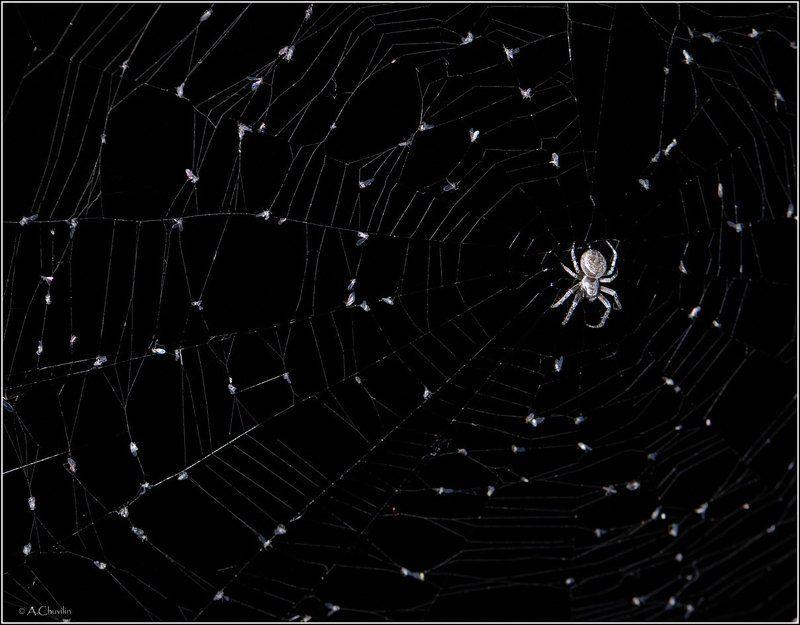 ночь,паук,паутина,мошки Созвездие паукаphoto preview