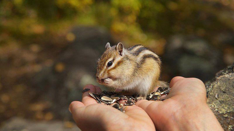 природа, осень, Алтай , бурундуки  Про бурундуков! photo preview