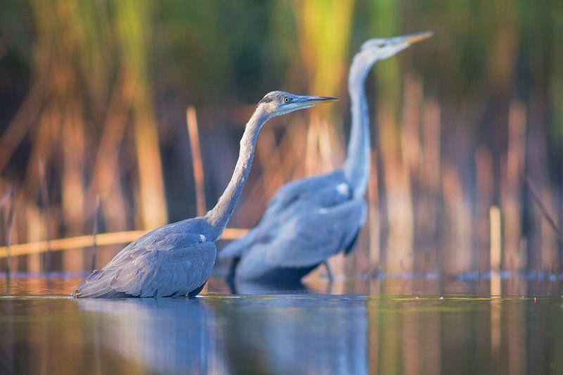 herons, heron, autumn, wildlife, birds Autumn heronsphoto preview