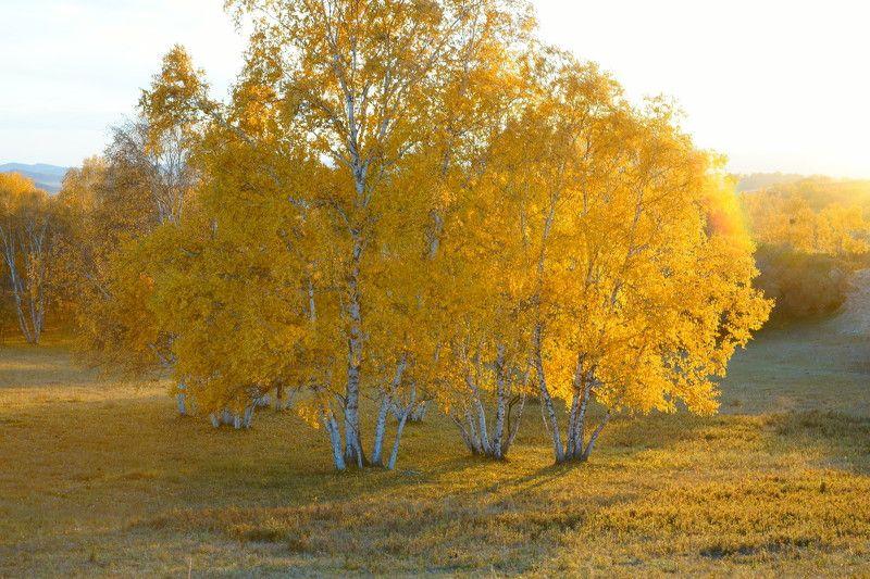asia,china,neimenggu,basang,birch tree, trees,sunlight,autumn,plateau,sunset, Light of the sunsetphoto preview