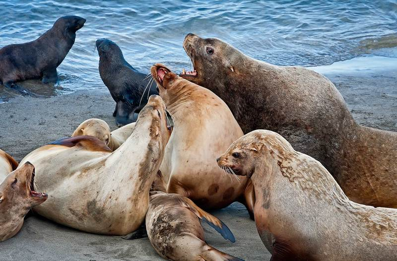 сивучи; eumetopias jubatus; млекопитающие; ластоногие; тюлени ушастые; тихий океан; морские млекопитающие; остров беринга; командорские острова; командоры Семейные разборкиphoto preview