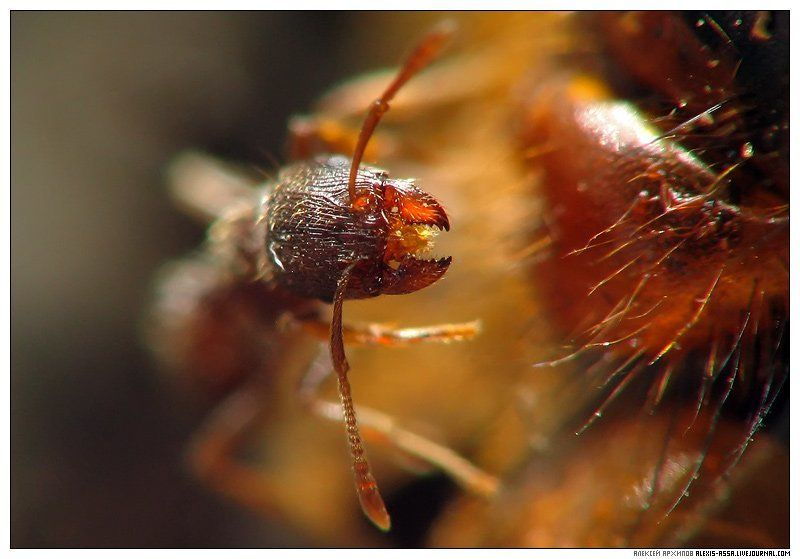 муравей Челюсти!photo preview