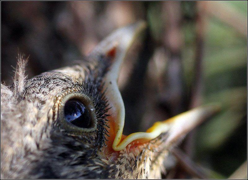 дрозд, птенец, клюв, хлеборезка, птичка, ёлка, гнездо Тихо в лесу, только не спят дрозды....photo preview