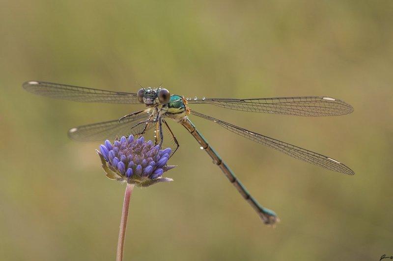 macro, makro, insect, wildlife, nature, Lestes viridisphoto preview