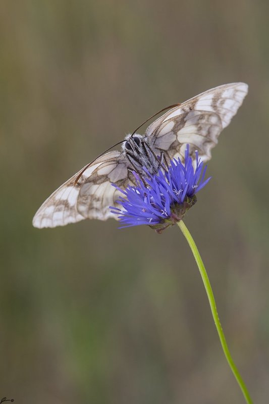 macro, makro, insect, wildlife, nature, butterfly, Melanargia galatheaphoto preview