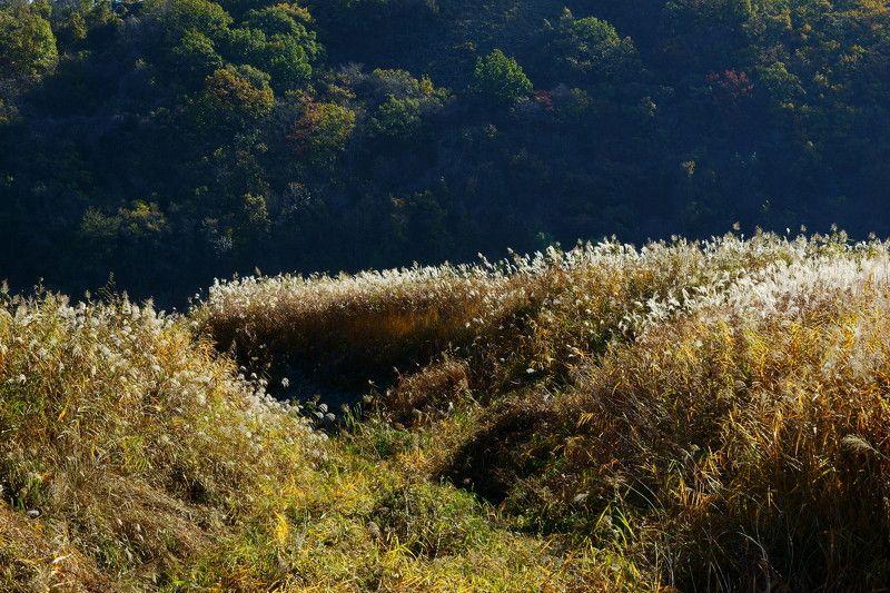 asia,korea,south korea,gangwondo,autumn,pampas grass,flower,landscape, Pampas grass flowers in autumnphoto preview