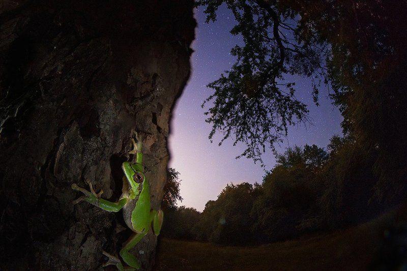 квакша, ночь, звезды, дерево, лягушка Древолазphoto preview