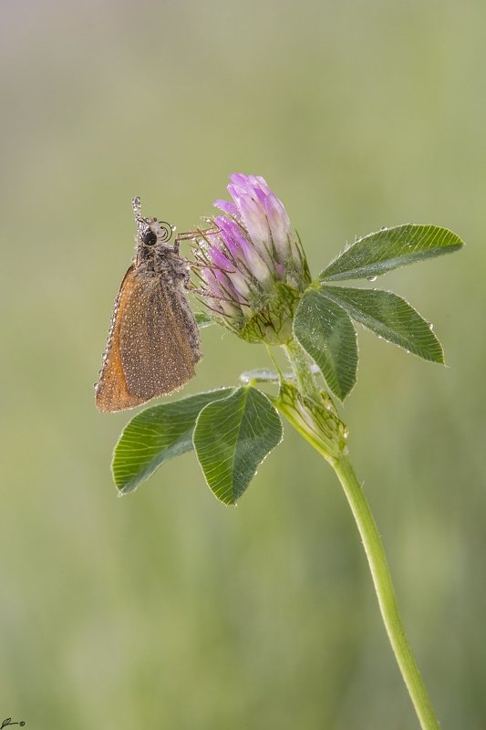 macro, makro, insect, wildlife, nature, butterfly, Thymelicus sp.photo preview