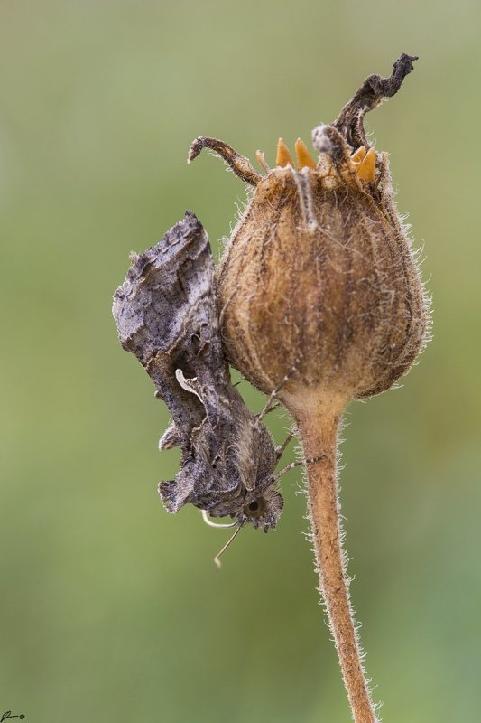 macro, makro, insect, wildlife, nature, butterfly, Autographa gammaphoto preview