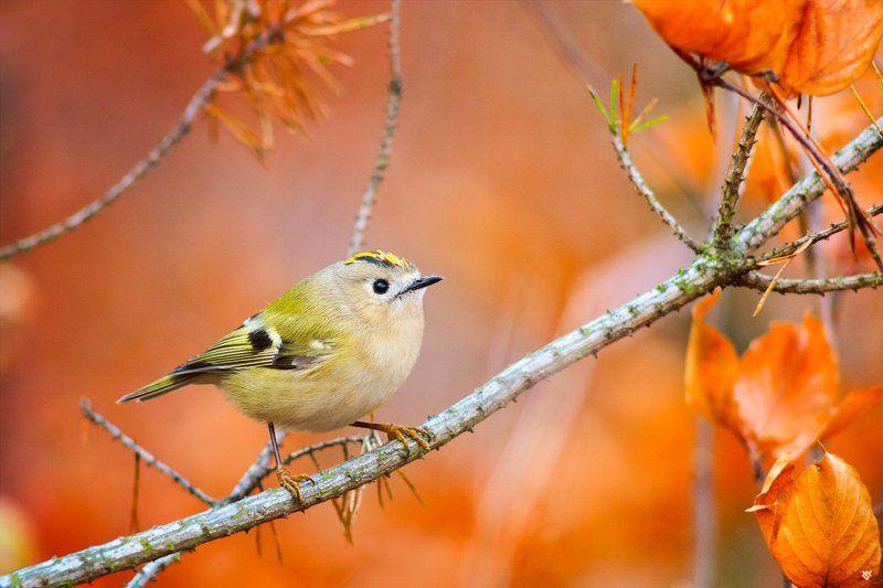 Goldcrest, mysikrólik, birds, bird, autumn, fall, wildlife Goldcrestphoto preview