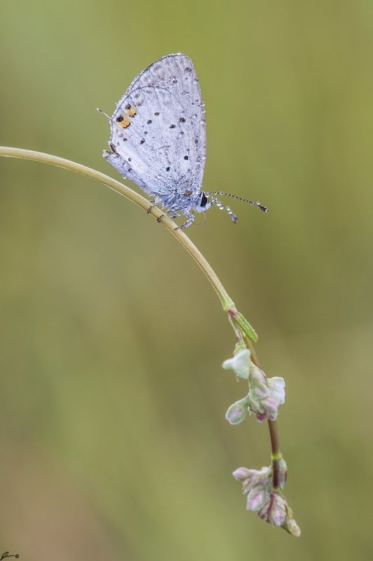macro, makro, insect, wildlife, nature, butterfly, Cupido argiadesphoto preview