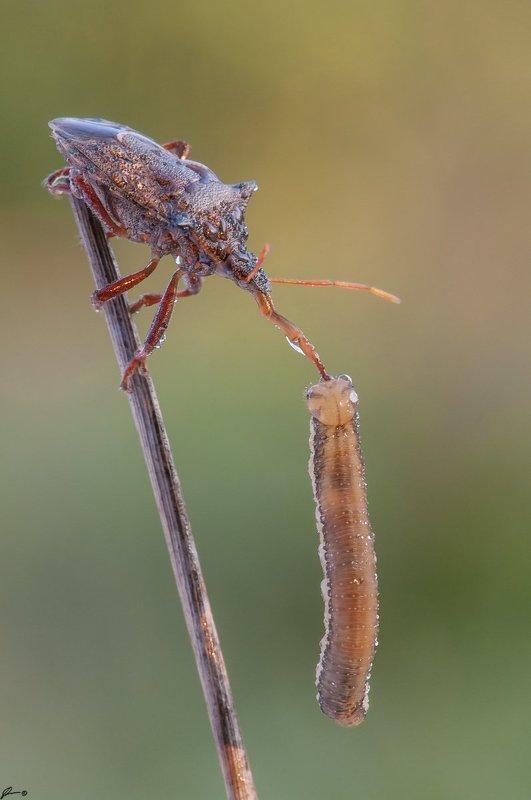 macro, makro, insect, wildlife, nature, Picromerus bidensphoto preview
