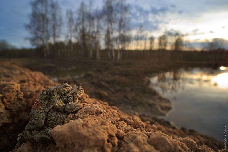 жаба, bufo bufo, природа, амфибия, земноводное Жабы на закатеphoto preview