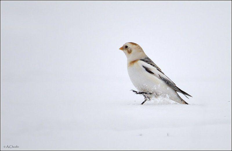 птицы пуночка зима Пуночкиphoto preview
