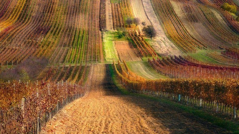 моравия, осень, виноградники Моравский ковёрphoto preview