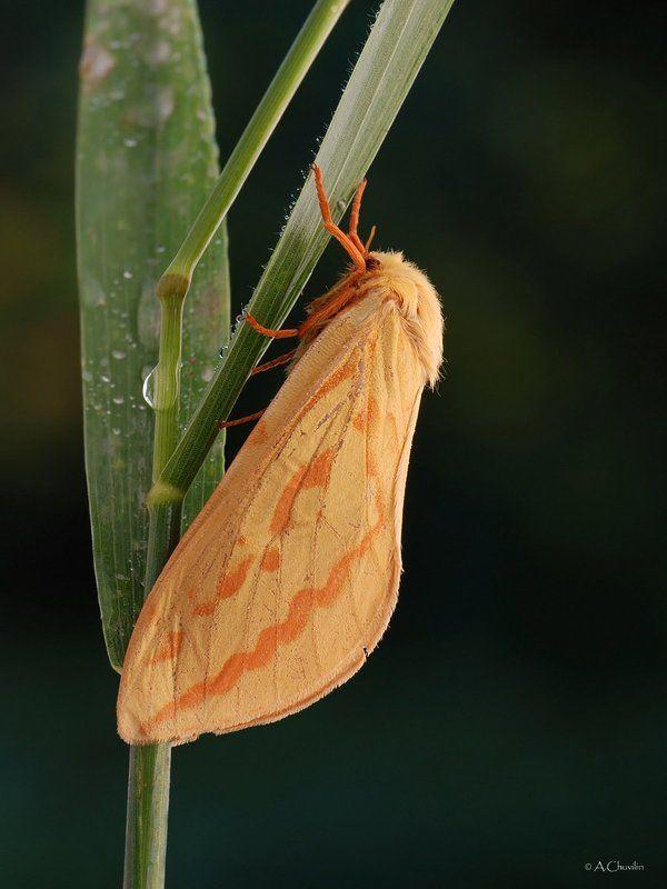 тонкопряд хмелёвый бабочка Тонкопрядphoto preview