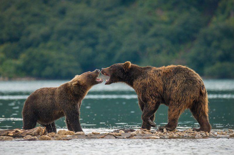 Камчатка, Курильское озеро, Медведи Выяснения отношений...photo preview